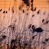 Żerujący pelikan różowy (Pelecanus onocrotalus)<br /> Stawy Raszyńskie (pow. pruszkowski); 06.04.2018<br /> ©Mateusz Matysiak