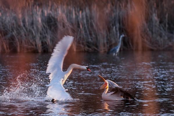 Młodociany pelikan różowy (Pelecanus onocrotalus) broniący się przed atakiem terytorialnego łabędzia niemego (Cygnus olor) Stawy Raszyńskie (pow. pruszkowski); 06.04.2018 ©Mateusz Matysiak
