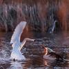 Młodociany pelikan różowy (Pelecanus onocrotalus) broniący się przed atakiem terytorialnego łabędzia niemego (Cygnus olor)<br /> Stawy Raszyńskie (pow. pruszkowski); 06.04.2018<br /> ©Mateusz Matysiak