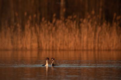Para tokujących perkozów dwuczubych (Podiceps cristatus) ©Mateusz Matysiak