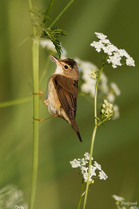 Łozówka (Acrocephalus palustris) ©Mateusz Matysiak