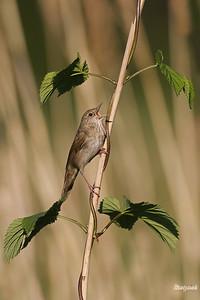 Śpiewający samiec strumieniówki (Locustella fluviatilis) ©Mateusz Matysiak