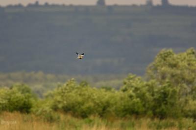 Czajka stepowa (Vanellus leucurus) 05.06.2009, Spytkowice, Stawy Zatorskie ©Mateusz Matysiak