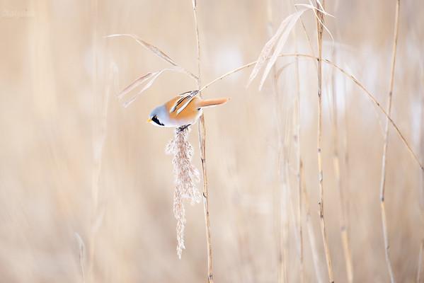 Samiec wąsatki (Panurus biarmicus) ©Mateusz Matysiak