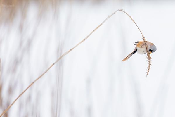 Żerujący samiec wąsatki (Panurus biarmicus) ©Mateusz Matysiak
