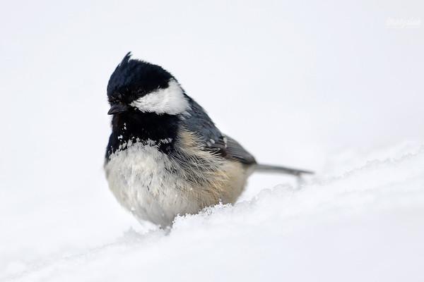Sosnówka śniegówka