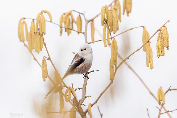 Raniuszek (Aegithalos caudatus) na kwitnącej leszczynie ©Mateusz Matysiak
