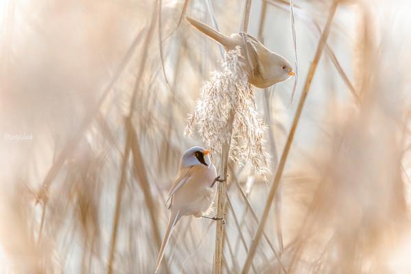 Para wąsatek (Panurus biarmicus) żerująca w trzcinowisku ©Mateusz Matysiak