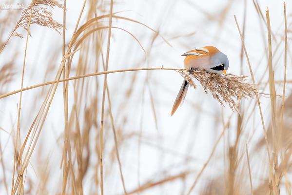 Żerujący samiec wąsatki (Panurus biarmicus) ©Mateusz Lech Matysiak jr