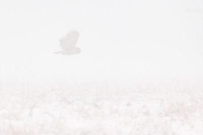 Puszczyk uralski (Strix uralensis) w zimowej mgle Bieszczady ©Mateusz Matysiak