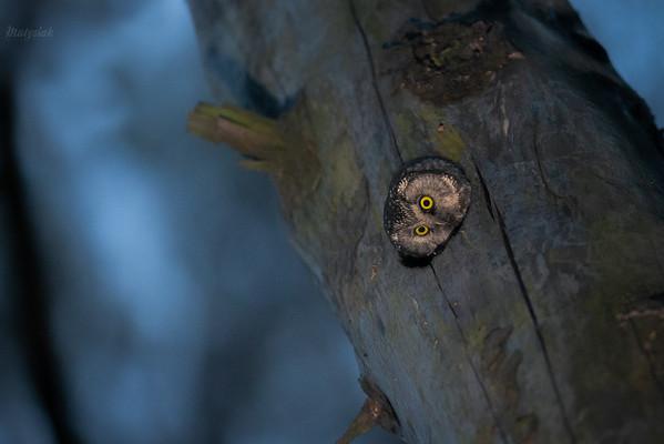 Włochatka (Aegolius funereus) w dziupli lęgowej ©Mateusz Matysiak