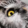 Włochatkowe oko