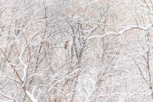 Puszczyk uralski (Strix uralensis) dolina górnego Sanu, Bieszczady ©Mateusz Matysiak