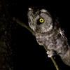 Nocna włochatka