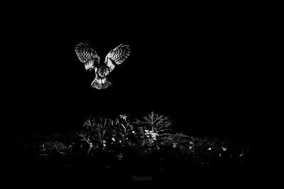 Polująca włochatka (Aegolius funereus) ©Mateusz Matysiak