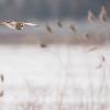 Sowa błotna, uszatka błotna (Asio flammeus)<br /> ©Mateusz Matysiak