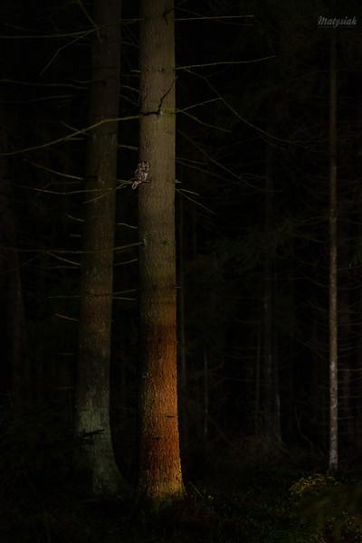 Włochatka (Aegolius funereus) ©Mateusz Matysiak