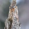 Sóweczka (Glaucidium passerinum)<br /> ©Mateusz Matysiak