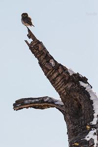 Czereśniowy paszczak