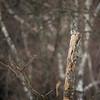 Mały, leśny rozbójnik