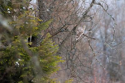 Puszczyk uralski (Strix uralensis) polujący na skraju lasu Bieszczady ©Mateusz Matysiak