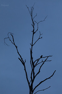 Sóweczka (Glaucidium passerinum) ©Mateusz Matysiak