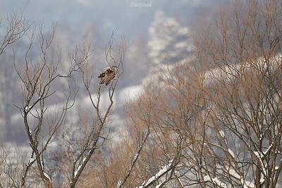 Puszczyk uralski (Strix uralensis) Bieszczady ©Mateusz Matysiak