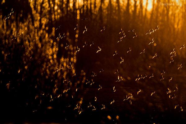 Wieczorne zloty szpaków (Sturnus vulgaris) ©Mateusz Matysiak