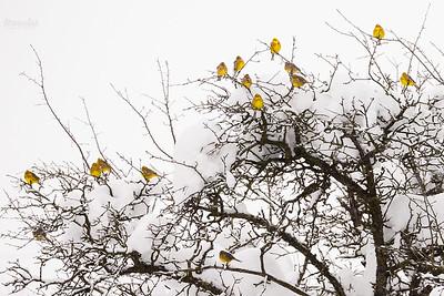 Zimowe stado trznadli (Emberiza citrinella) Bieszczady ©Mateusz Matysiak