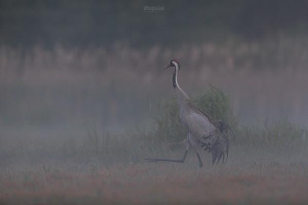 Żuraw (Grus grus) kroczący po mokradle Dolina Pisi Gągoliny, Ziemia Chełmońskiego ©Agata Katafiasz-Matysiak