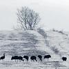 Stado żurawi (Grus grus) zimujących na polach w dolinie Biebrzy<br /> ©Mateusz Matysiak