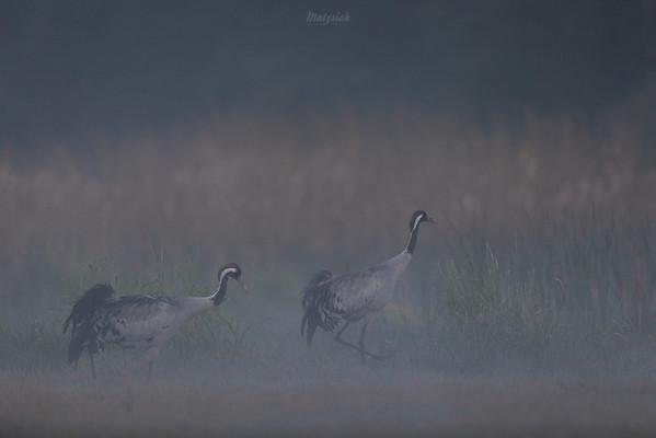 Para żurawi (Grus grus) Dolina Pisi Gągoliny, Ziemia Chełmońskiego ©Agata Katafiasz-Matysiak