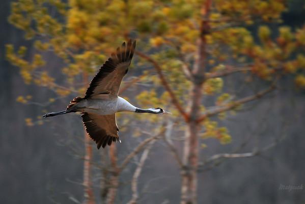 Żuraw (Grus grus) nad gniazdowiskiem ©Mateusz Matysiak