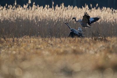 Kopulująca para żurawi (Grus grus) podczas wiosennych toków ©Mateusz Matysiak