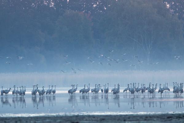 Żurawie (Grus grus)  Dolina Baryczy ©Agata Katafiasz-Matysiak