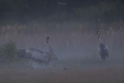 Żurawie (Grus grus) Dolina Pisi Gągoliny, Ziemia Chełmońskiego ©Agata Katafiasz-Matysiak