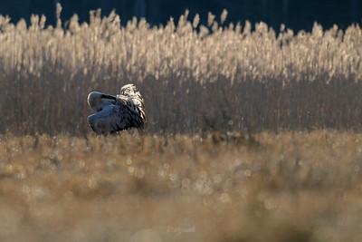 Żuraw (Grus grus) w obrębie gniazdowiska ©Mateusz Matysiak