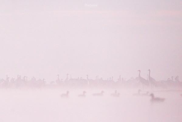 Koncentracja żurawi (Grus grus) i gęgaw (Anser anser) w mglisty poranek, przed wylotem z noclegowiska ©Mateusz Matysiak