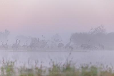 Koncentracja żurawi (Grus grus) w mglisty poranek, przed wylotem z noclegowiska ©Mateusz Matysiak