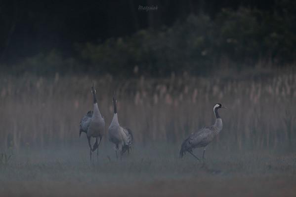 Poranny hejnał w wykonaniu pary żurawi (Grus grus) Dolina Pisi Gągoliny, Ziemia Chełmońskiego ©Agata Katafiasz-Matysiak