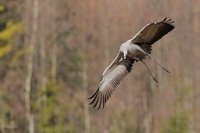 Lądujący żuraw (Grus grus) ©Mateusz Matysiak