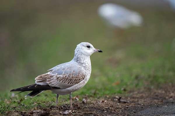 mewa siwa | common gull | larus canus