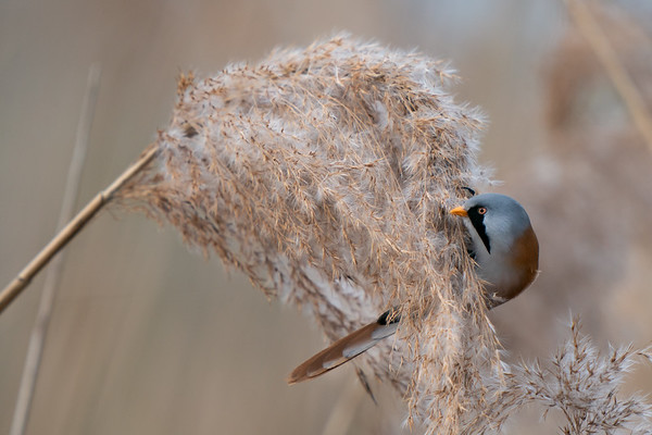 wąsatka   bearded reedling   panurus biarmicus