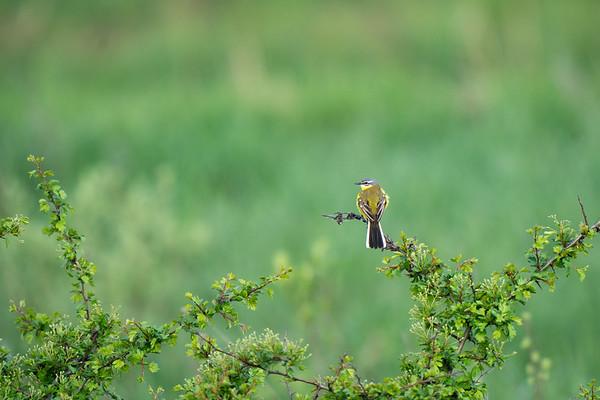 pliszka żółta   western yellow wagtail   motacilla flava