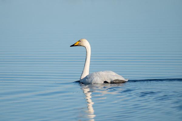 łabędź krzykliwy   whooper swan   cygnus cygnus