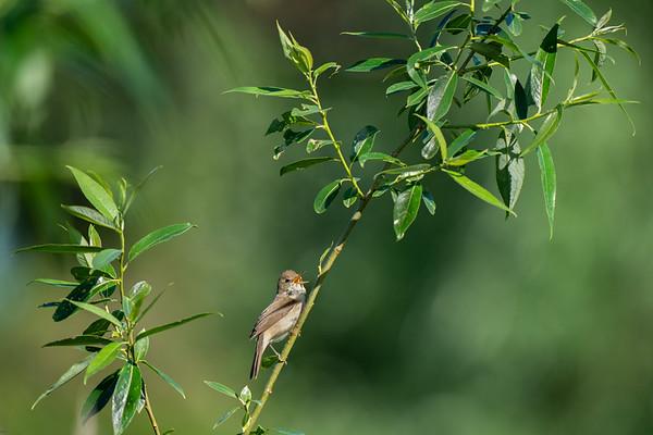 zaroślówka   blyth's reed warbler   acrocephalus dumetorum