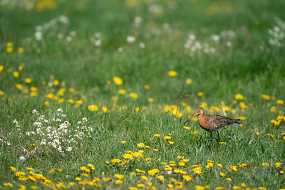 rycyk   black-tailed godwit   limosa limosa