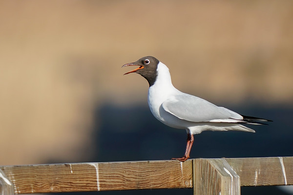 śmieszka | black-headed gull | chroicocephalus ridibundus
