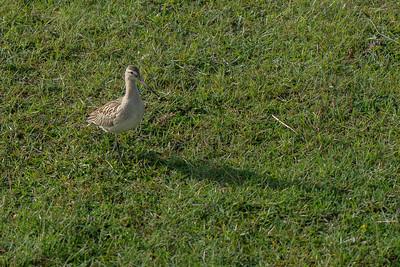 szlamnik | bar-tailed godwit | limosa lapponica