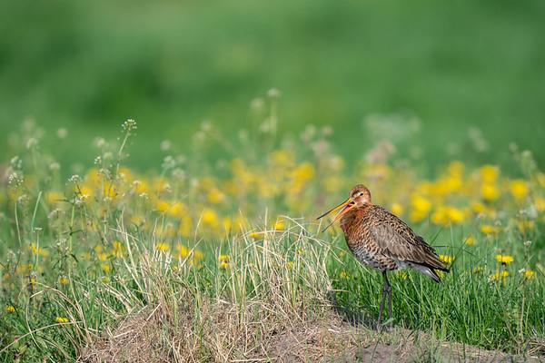 rycyk | black-tailed godwit | limosa limosa